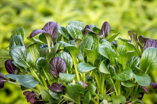 小松菜の栄養素